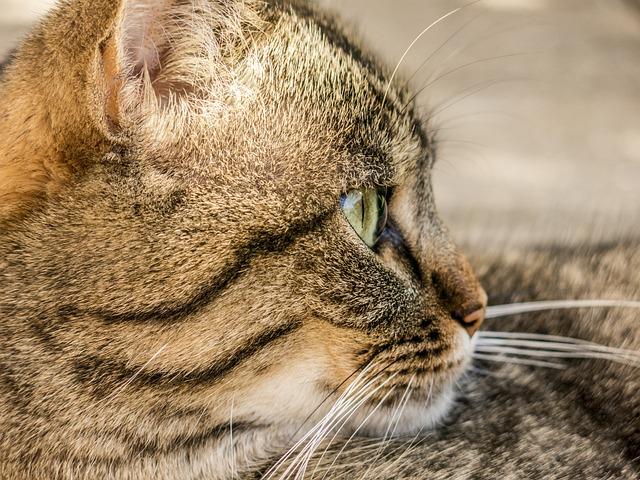 Cat, Tiger, Animal, Domestic Cat, Mieze, Animal World