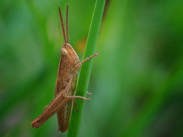 Grasshopper, Insect, Nature, Evertebrat, Animal World