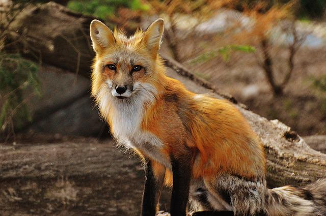 Fuchs, Wild Animal, Predator, Animal World
