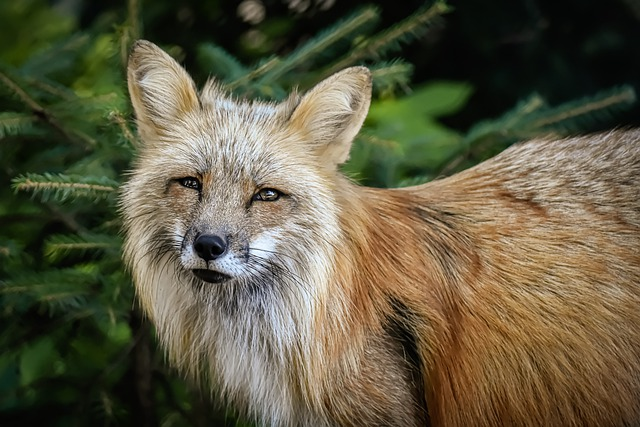 Fuchs, Animal World, Wild Animal, Animal Portrait