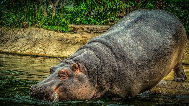 Hippo, Hippopotamus, Water, Animal World, Mammal, Zoo