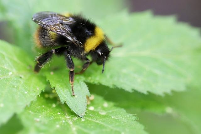 Hummel, Insect, Wing, Macro, Close Up, Animal World