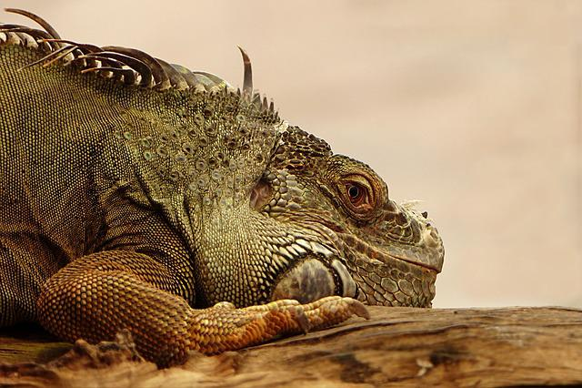Animal, Reptile, Lizard, Iguana, Nature, Animal World