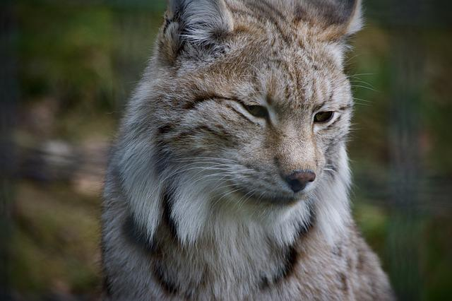 Lynx, Wildcat, Cat, Mammal, Animal World, Nature
