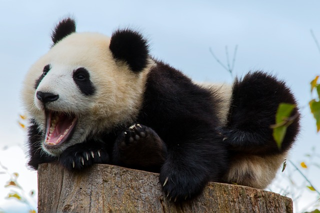 Mammal, Animal World, Cute, Animal, Nature, Panda