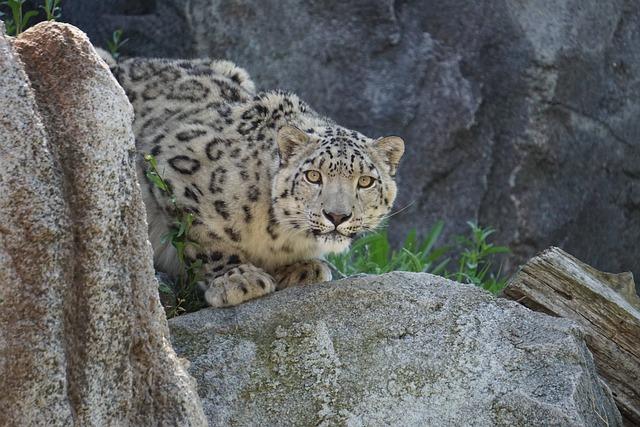 Snow Leopard, Zoo, Nature, Animal World, Animal, Mammal