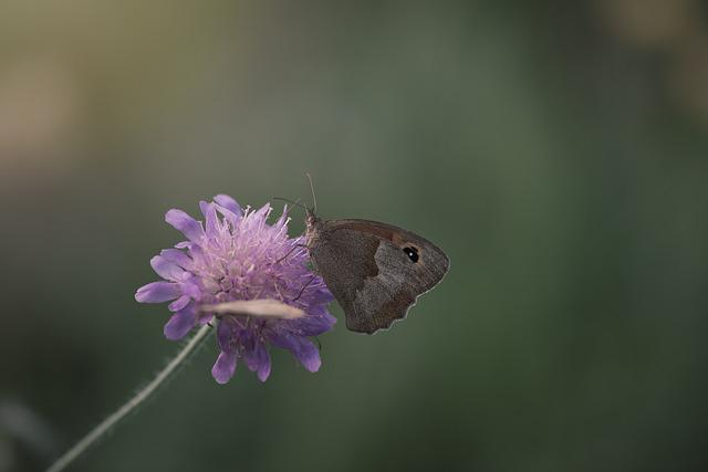 Meadow Brown, Butterfly, Flight Insect, Animal World