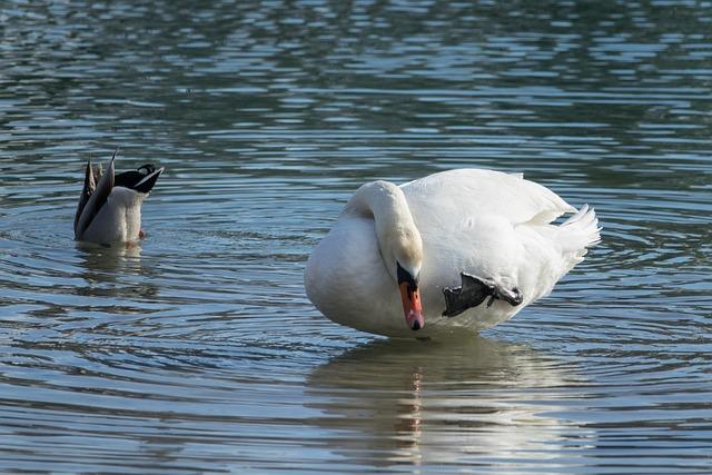 Waters, Bird, Animal World, Nature, Animal, Swan, Duck