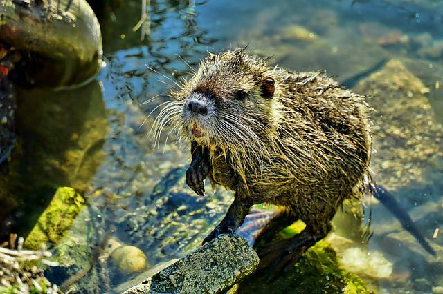 Nature, Waters, Nutria-young, Animal World, Animal