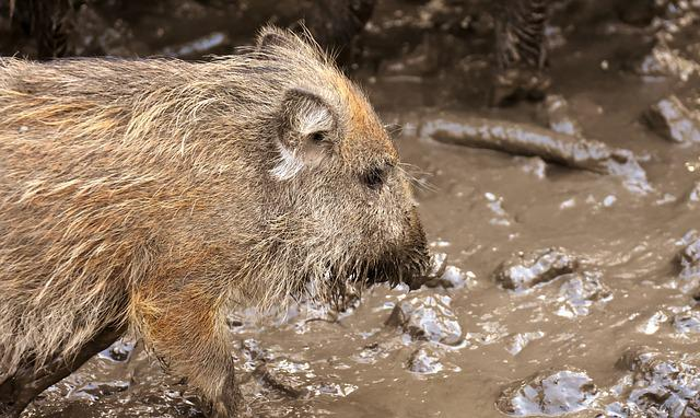 Wild Boars, Animals, Mud, Dirty, Animal World, Nature