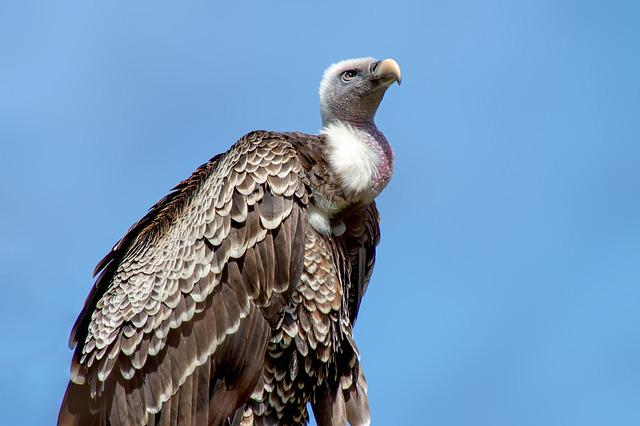 Vulture, Bird, Animal World, Nature, Bird Of Prey