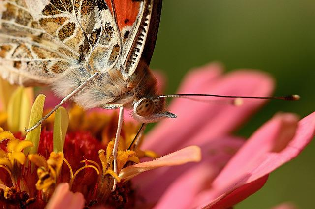 Butterfly, Vanessa Cardui, Macro, Animal World, Nature