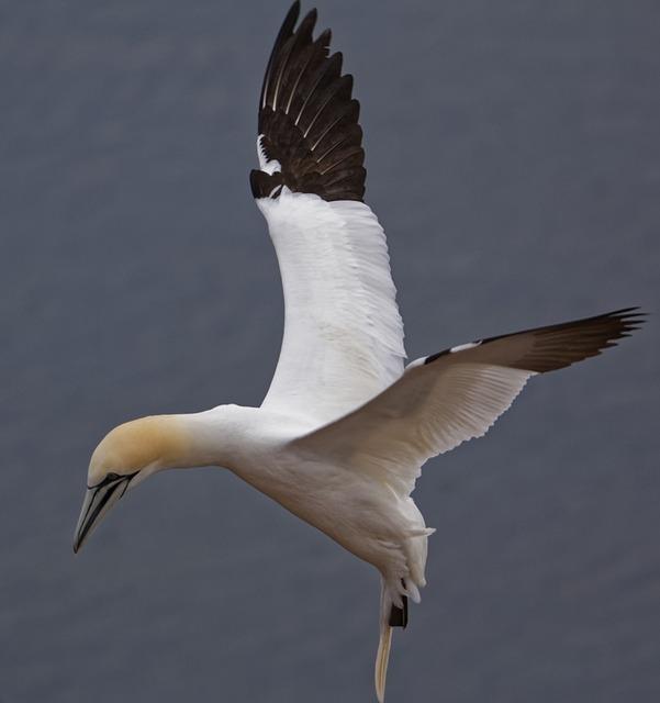 Bird, Animal World, Nature, Animal, Northern Gannet