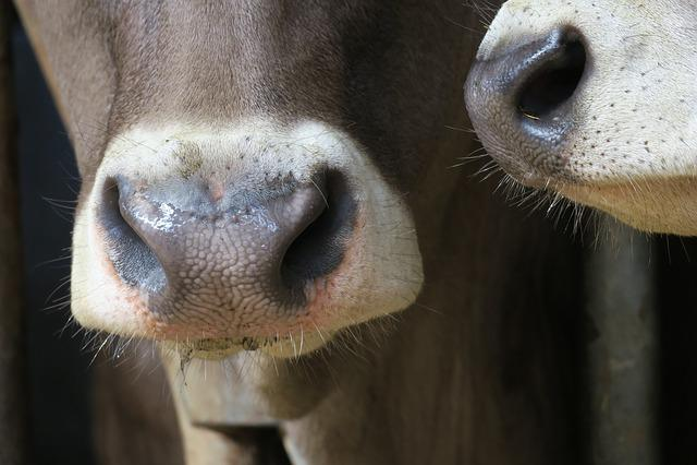 Cow, Nose, Portrait, Mammal, Animal, Animal World
