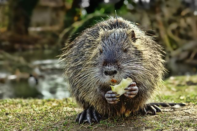 Animal World, Nature, Mammal, Animal, Rodent, Nutria