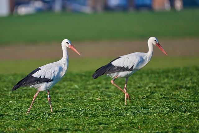 Stork, Pair, Grass, Food, Nature, Animal World, Bird