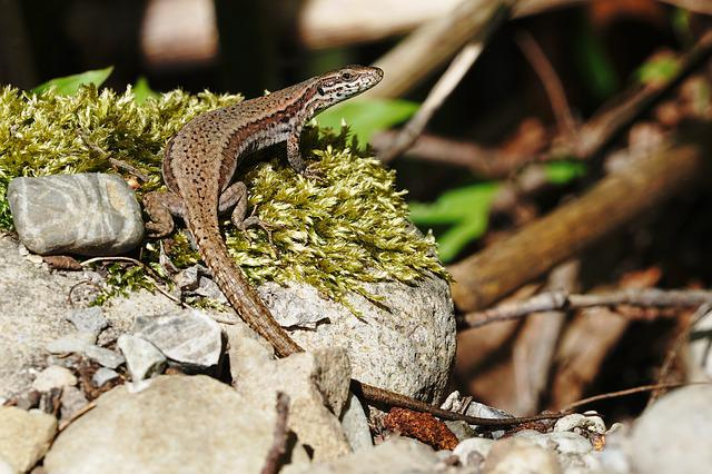 Lizard, Nature, Animal World, Animal, Reptile, Scale