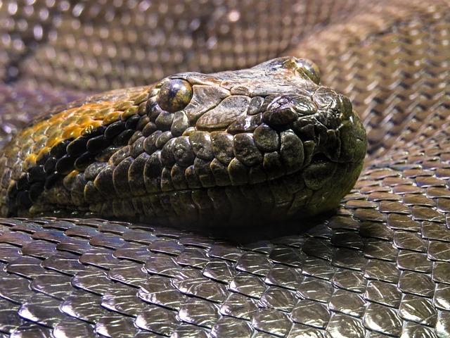 Animal World, Snake, Snakehead, Anaconda, Scale, Python