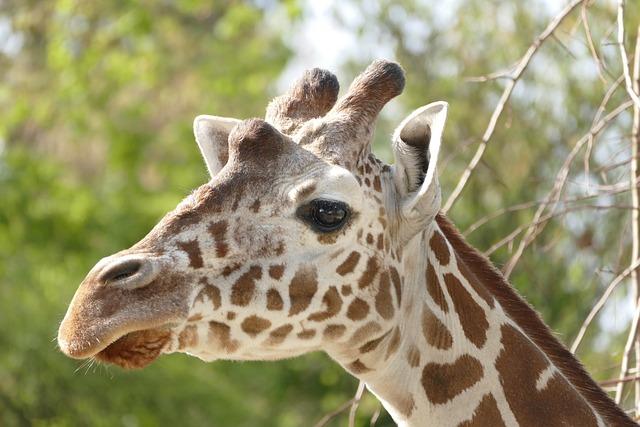 Nature, Animal World, Animal, Giraffe, Wild, Mammal