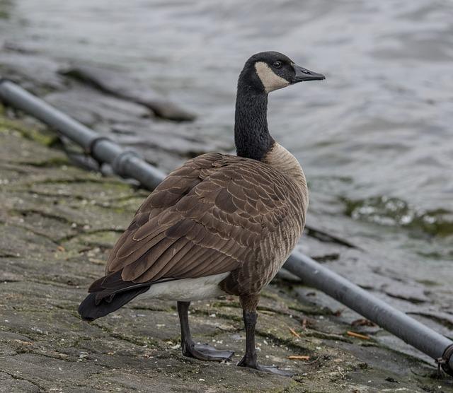 Bird, Wild Goose, Animal World, Nature, Animal, Waters