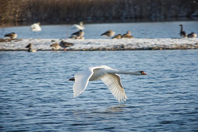 Swan, Bird, Waters, Nature, Animal World, Winter