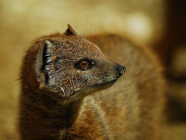 Yellow Mongoose, Animal, Mammal