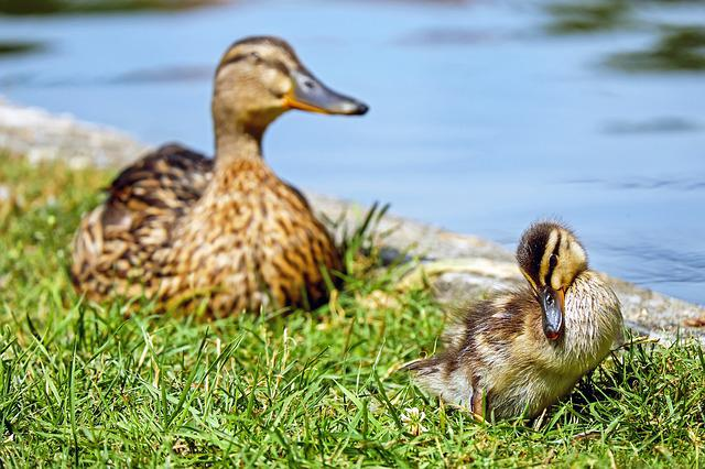 Duck, Chicks, Animal, Young Animal, Fluff, Clean