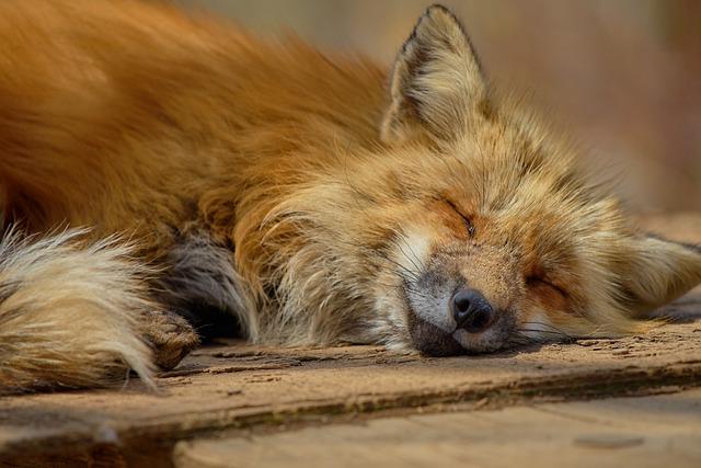Fox, Japan, Zao, Zao Fox Village, Animal