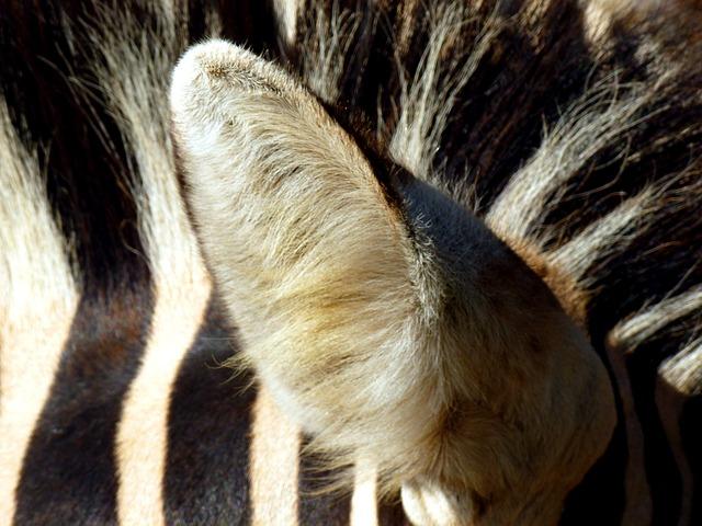 Zebra, Ear, Animal, Black And White, Head, Striped