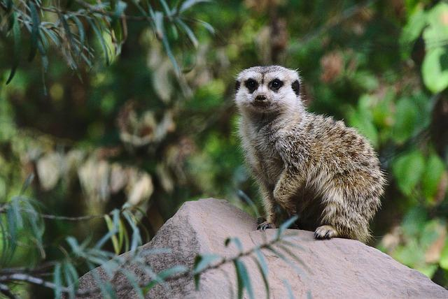 Meerkat, Zoo, Green, Guard, Animal
