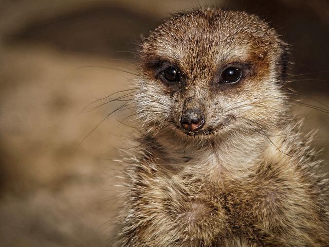 Surykatka, Zoo, Mammal, Animal, Nature