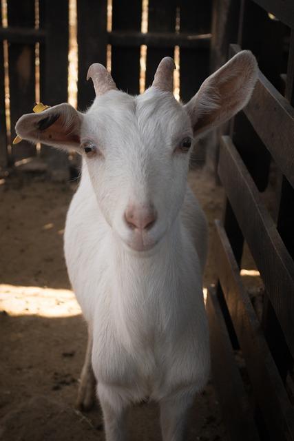 Farm, Mammalia, Livestock, Barn, Animalia, Goat, Nature