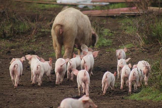 Livestock, Farm, Sheep, Mammalia, Animalia, Field