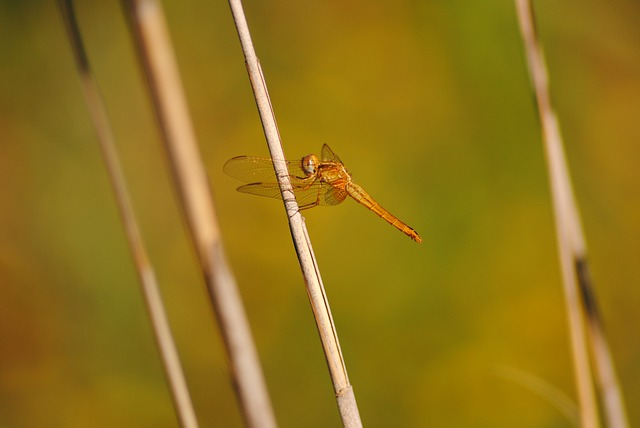 Nature, Animalia, Insect, Dragonfly