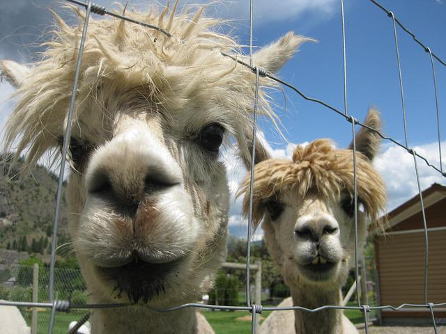 Alpacas, Animals, Head