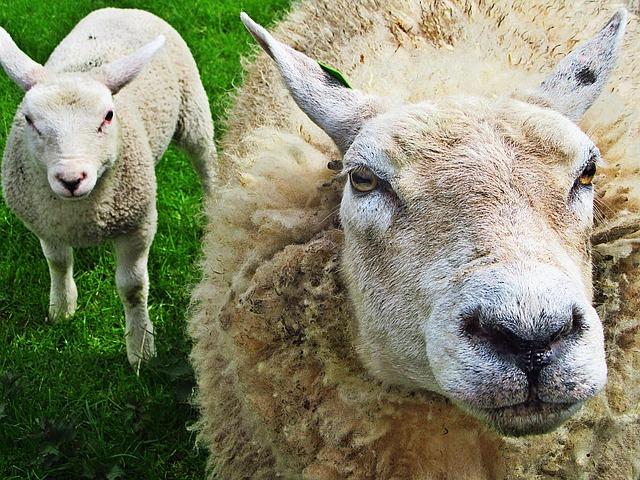 Sheep, Lamb, Lambs, Animals, Meadow, Green, Animal