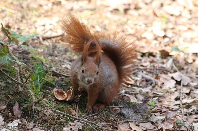 Nature, The Squirrel, Tail, Animal, Animals, Pet