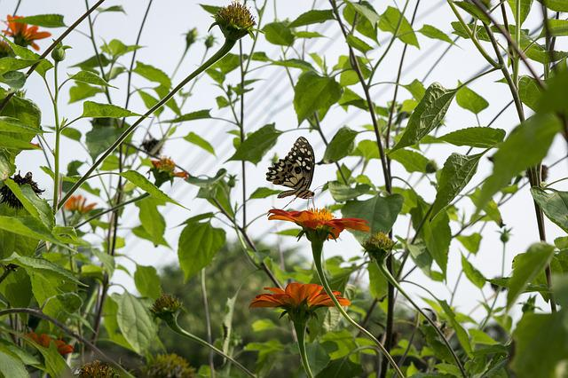 Butterfly, Insects, Animals, Flowers