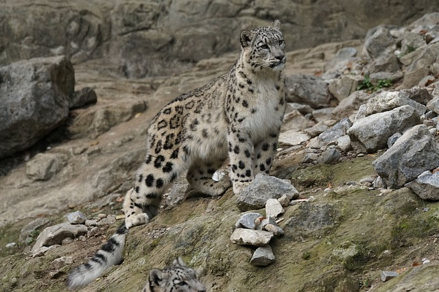 Snow Leopard, Cat, Animals