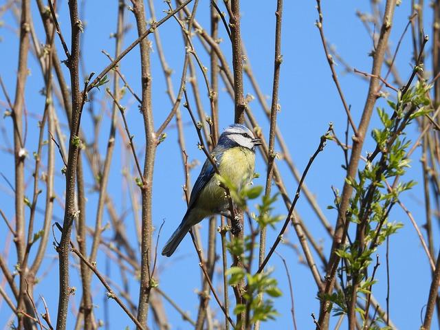 Chickadee, Bird, Nature, Yellow, Animals, Spring, Tree