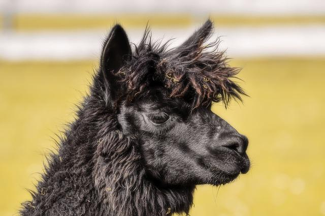 Alpaca, Head, Black, Animals, Cute, Good Aiderbichl