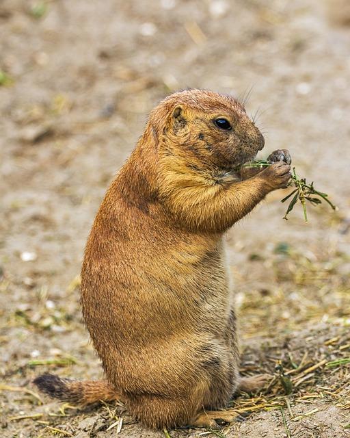 Prairie Dog, Rodent, Animals, Cynomys