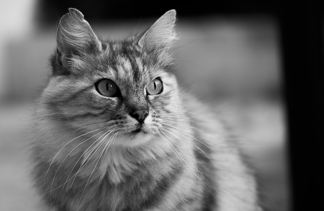 Cat, Animal, Animals, Domestic Animal, Tabby Cat