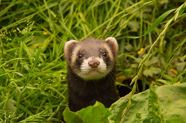 Animals, Ferret, Animal Welfare