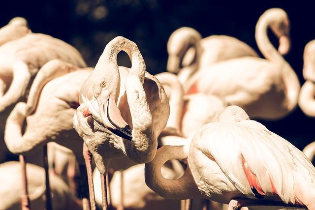 Animals, Birds, Flamingos, Macro
