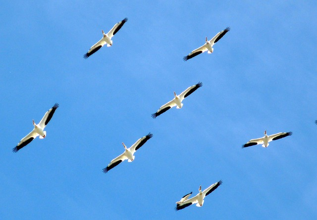 Birds, Animals, Pelicans, Family, Flight, Formation