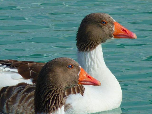 Goose, Geese, Animals, Water, Swim, Bird