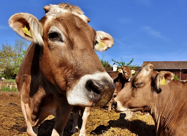 Cows, Animals, Farm, Good Aiderbichl, Sanctuary