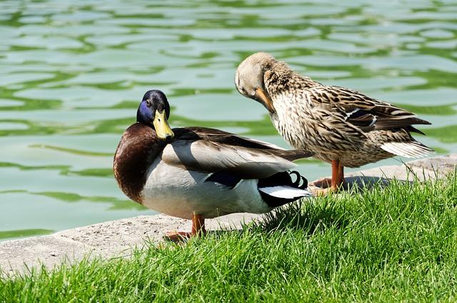 Pond, Ducks, Nature, Rush, Bird, Animals, Grass, Green