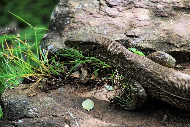 Iguana, Sri Lanka, Nature, Reptiles, Animals, Lizards